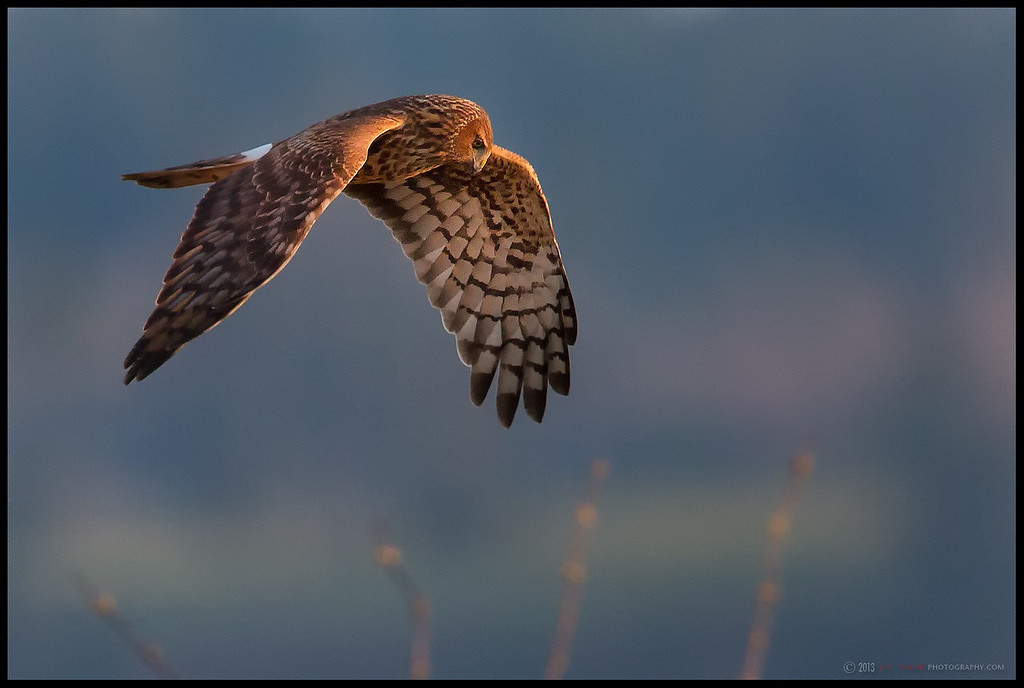 Harrier Female