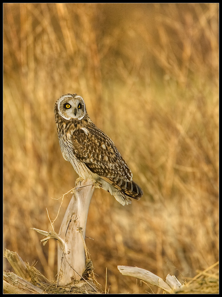 Short-Eared Owl Perched