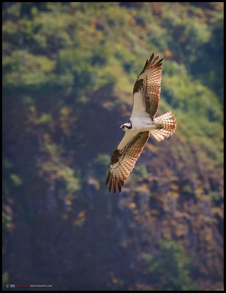 Gorge Osprey