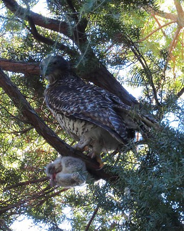 20 Aug 2017 Powerful Owl & Dog Walk