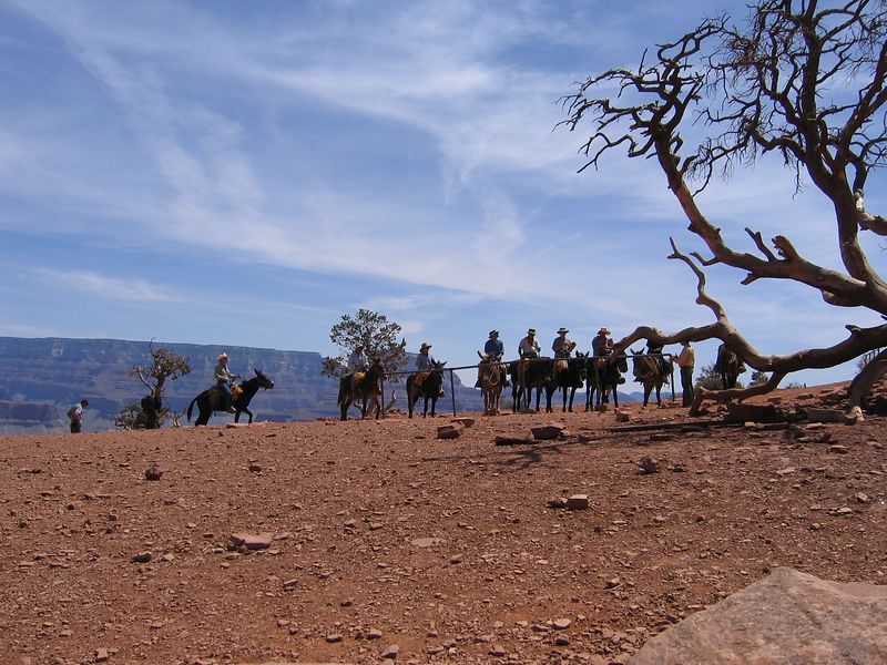 Mules at Cedar Ridge