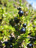 Ohelo berry, a relative of the blueberry . . . with much less flavor