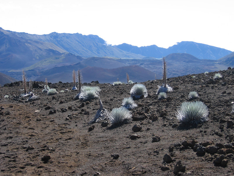 a plethora of `Ahinahina or Silverswords along the trail
