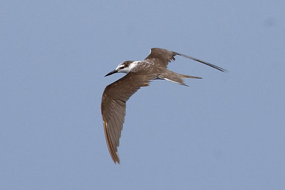 Bridled Tern in first alternate plumage (8-5-07)