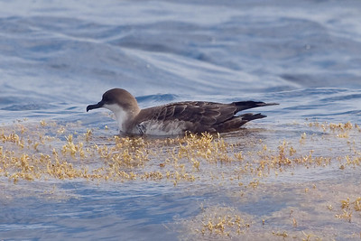 Juvenile Greater Shearwater (8-5-07)