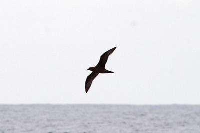 Dark-morph Trinidade Petrel (8-5-07)