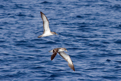 Both subspecies of Cory's Shearwater.  The top bird is the nominate Mediterranean subspecies diomedea, which is sometimes called Scopoli's Shearwater.  The bottom bird is the Atlantic borealis.  Scopoli's is a potential split.  Scopoli's is slightly smaller, with a slightly smaller darker bill, but the most consistent difference appears to be the white undersides to the outer primaries, which is evident here. (8-5-07)