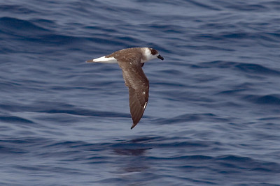 Black-capped Petrel (8-5-07)