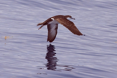 Juvenile Audubon's Shearwater (8-5-07)