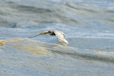 Adult Black Tern in prebasic moult (8-5-07)
