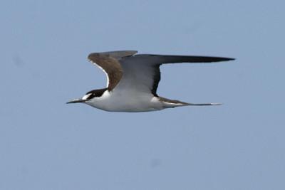 Adult Sooty Tern (8-5-07)