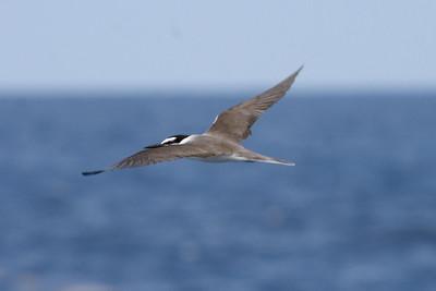Adult Bridled Tern (8-5-07)
