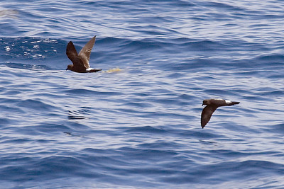 Band-rumped Storm-Petrels (8-5-07)