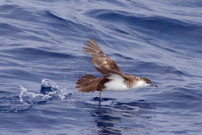 Adult Audubon's Shearwater (8-5-07)