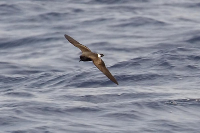 Band-rumped Storm-Petrel - probably a juvenile (6-2-07) (8-5-07)