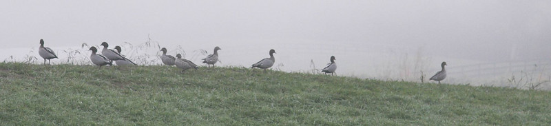 Ducks in the mist.