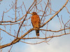 Red-shouldered Hawk @ Lost Valley Trail
