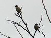 Eurasian Tree Sparrows @ Parkway CHS