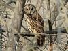 Barred Owl @ Grand Glaize Creek