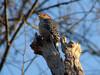 Red-bellied Woodpecker @ Castlewood SP