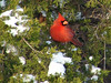 Northern Cardinal (Male) @ Creve Coeur CP
