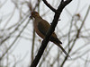 Mourning Dove @ Parkway CHS