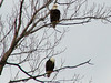 Bald Eagles @ Simpson Lake CP