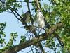 Black-crowned Night Heron & Great Egret @ Simpson Lake CP