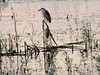 Black-crowned Night Heron @ Columbia Bottom CA