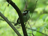May 03 2008 - (Emmeneggar Nature Park / Kirkwood, Saint Louis County, Missouri) -- Chestnut-sided Warbler