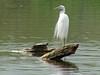 May 05 2008 - (Simpson Lake County Park / Valley Park, Saint Louis County, Missouri) -- Great Egret & Turtle