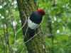 Red-headed Woodpecker @ Parkway CHS