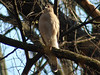 Cooper's Hawk @ Simpson Lake CP