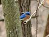 Eastern Bluebird @ Lone Elk CP