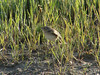 May 05 2008 - (Columbia Bottom Conservation Area / Spanish Lake, Saint Louis County, Missouri) -- Grasshopper Sparrow