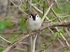 Eurasian Tree Sparrow @ Creve Coeur CP