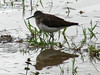 Solitary Sandpiper @ Peruque Creek Road