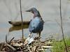 May 05 2008 - (Simpson Lake County Park / Valley Park, Saint Louis County, Missouri) -- Green Heron
