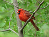 Northern Cardinal @ Simpson Lake CP