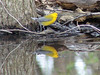 Prothonotary Warbler @ Simpson Lake CP