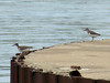 Spotted Sandpipers @ Riverlands MBS