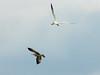 Caspian Tern over Ring-billed Gull @ Riverlands MBS