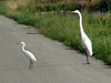 Snowy Egret & Great Egret @ Kaskaskia Island