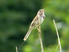 Song Sparrow @ Creve Coeur CP