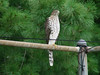 Cooper's Hawk (Immature) @ Parkway CHS