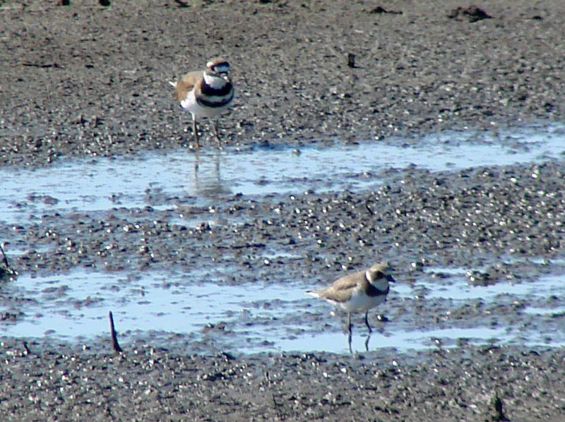 Killdeer & Semipalmated Plover @ Clarence Cannon NWR
