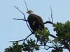 Bald Eagle @ Creve Coeur CP