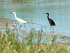 Snowy Egret & Little Blue Heron @ Columbia Bottom CA