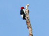 Red-headed Woodpecker @ Shaw NR