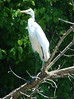 Great Egret @ Simpson Lake CP